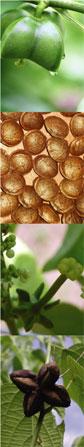 グリーンナッツ インカインチオイル